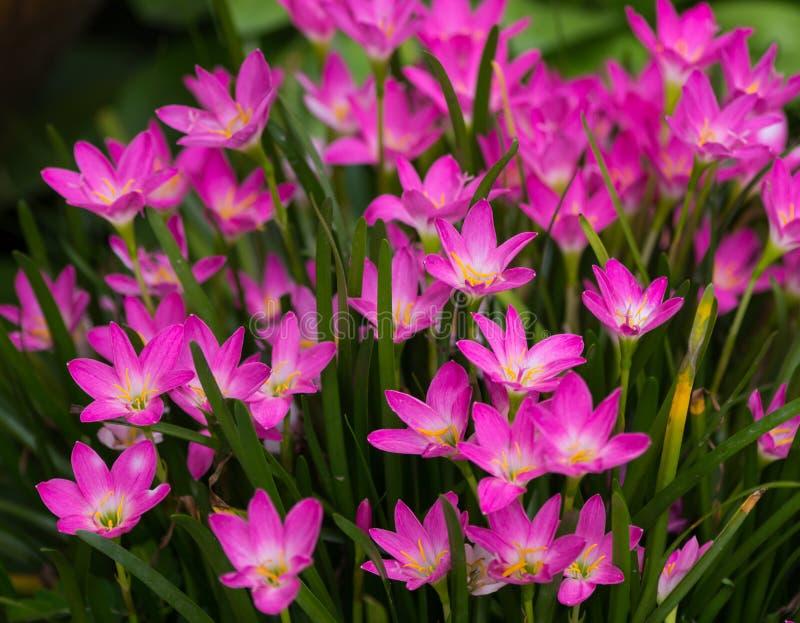 Lírio da chuva, Zephyranthes foto de stock