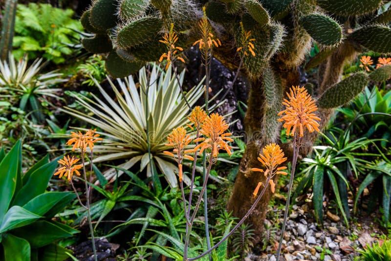 Lírio da tocha, uvaria Tritoma do Kniphofia da flor imagens de stock