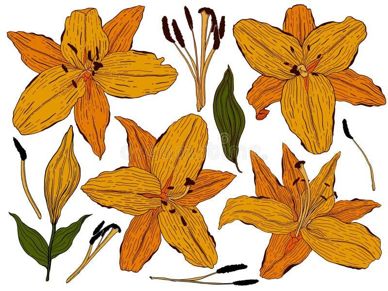 Lírio das flores, botões alaranjados e folhas verdes Ajuste a cole??o Isolado no fundo branco Ilustra??o do vetor fotografia de stock