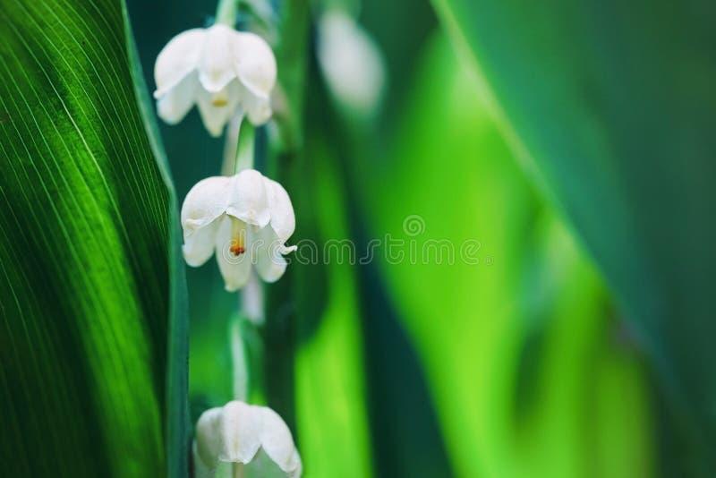 Lírio das flores do vale no macro do ar livre do amanhecer foto de stock royalty free