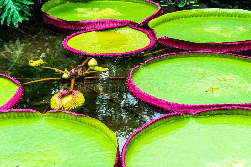 Lírio de água australiano entre o regia gigante em jardins de Kew, Londres do amazonica de Victoria das almofadas de lírio da águ foto de stock