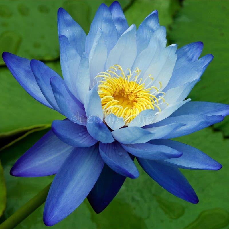 Lírio de água azul fotografia de stock