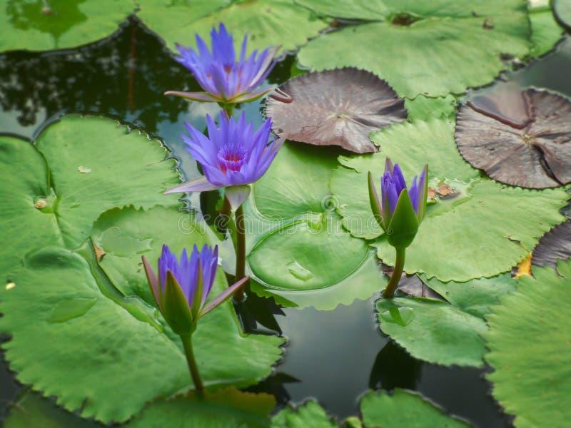 Lírio de água azul imagem de stock royalty free