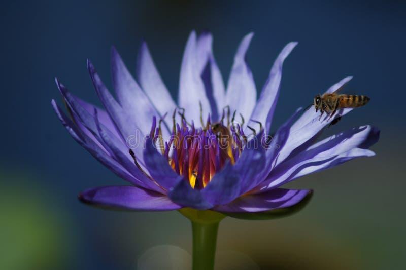 Lírio de água azul com abelha foto de stock royalty free