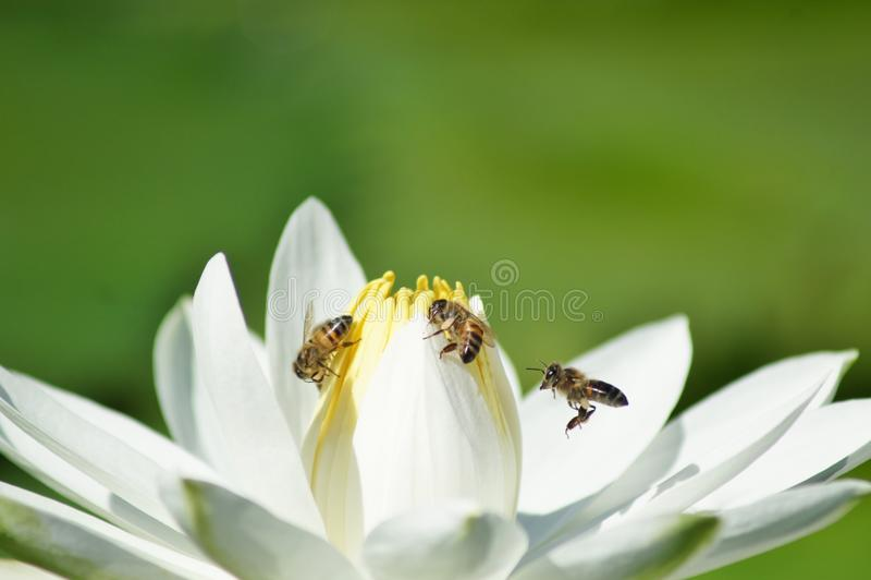 Lírio de água branca com abelhas fotografia de stock