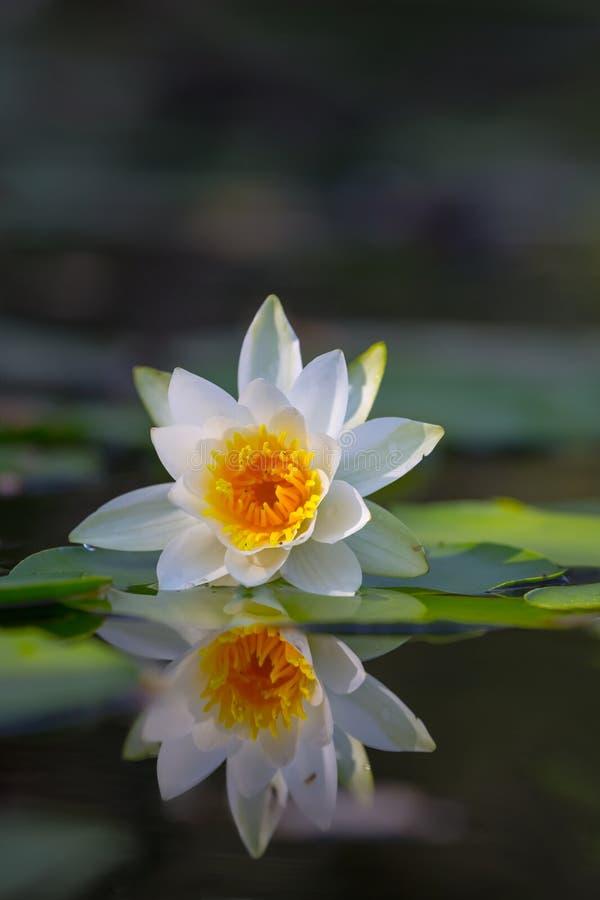 Lírio de água branca do close up que flutua no rio do verão fotografia de stock