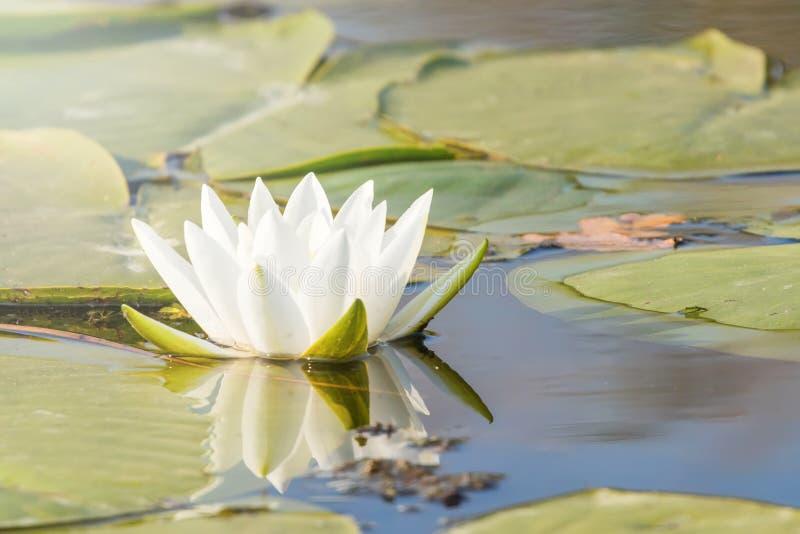 Lírio de água branca na superfície da água Reflexão do lírio de água no wate foto de stock