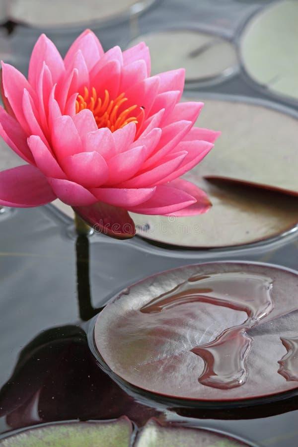Lírio de água com folhas foto de stock royalty free