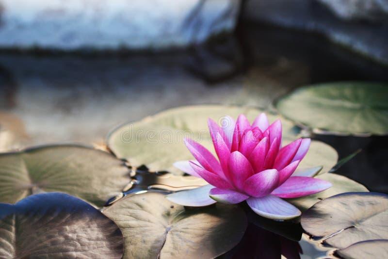 Lírio de água cor-de-rosa brilhante foto de stock royalty free