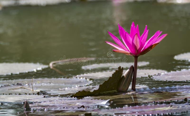 Lírio de água cor-de-rosa em um lago - cena tranquilo foto de stock