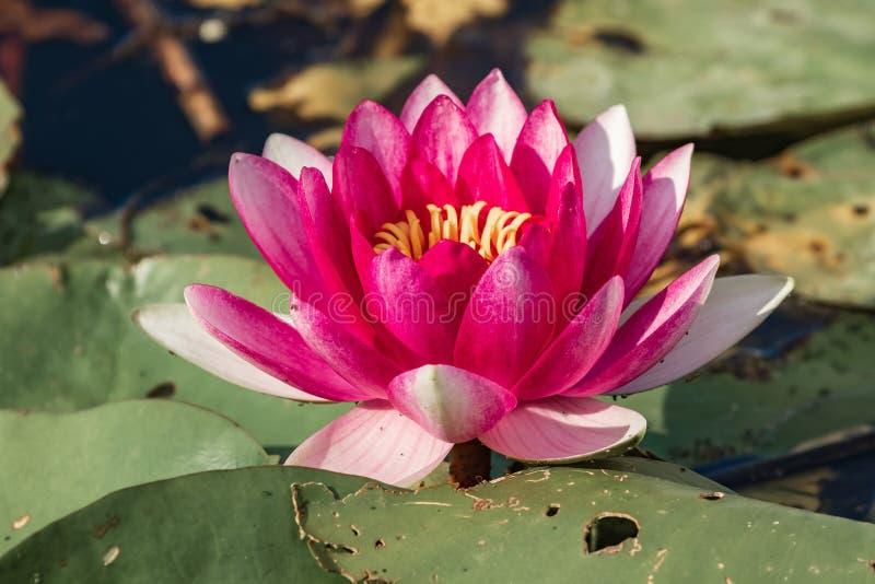 Lírio de água cor-de-rosa de florescência brilhante entre as folhas verdes ? residentes permanentes excelentes de jardins da ?gua foto de stock royalty free
