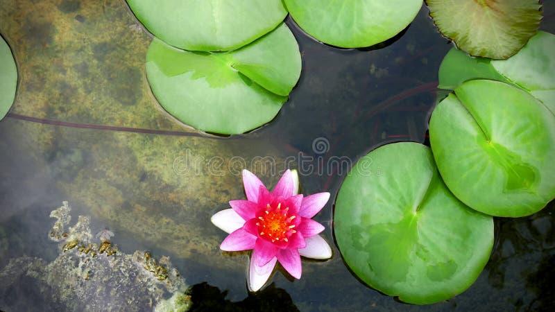 Lírio de água cor-de-rosa vívido e almofadas verdes frescas na lagoa imagens de stock royalty free
