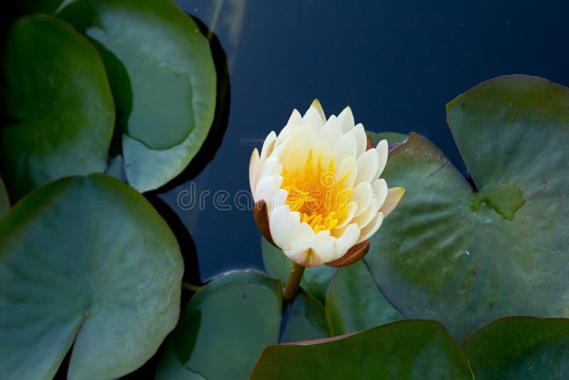 Lírio de água de creme e amarela - wi do Arco-en-ciel do Nymphaea de Nymphaceae imagens de stock royalty free