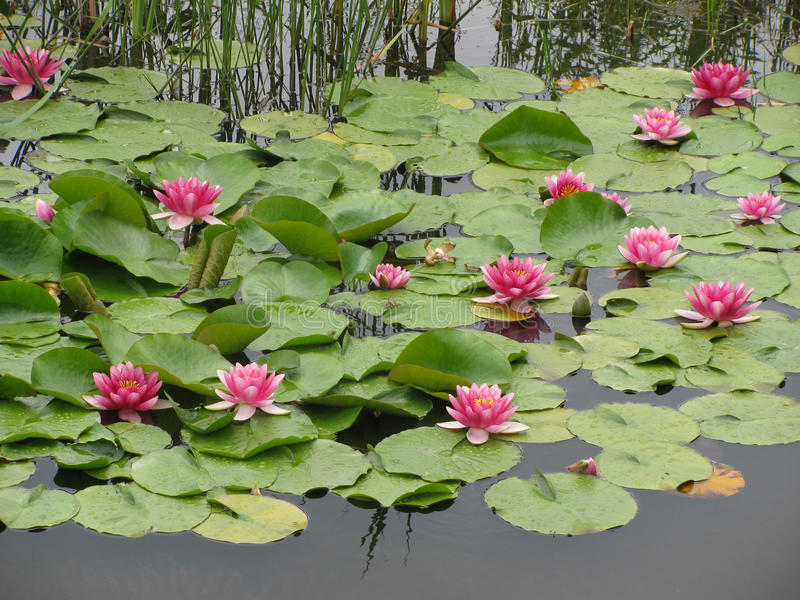 Lírio de água de Nympheas imagem de stock