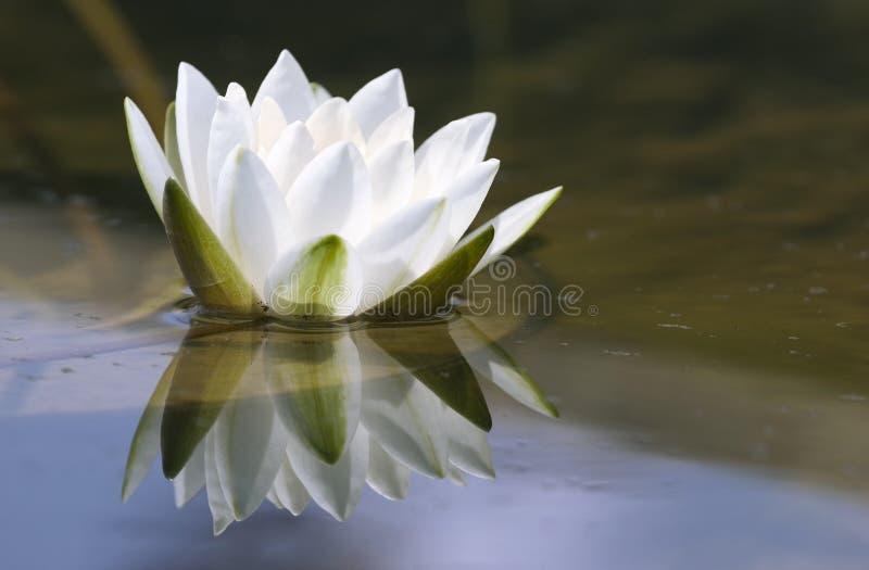 Lírio de água delicado branco imagens de stock royalty free