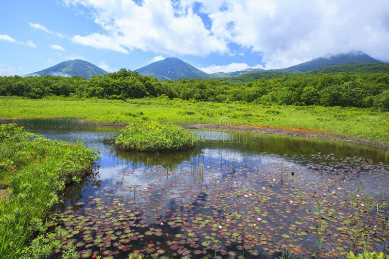 Lírio de água do pântano fotografia de stock