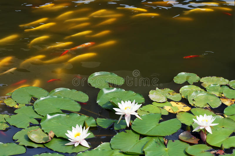 Lírio de água e carpa do koi imagem de stock royalty free