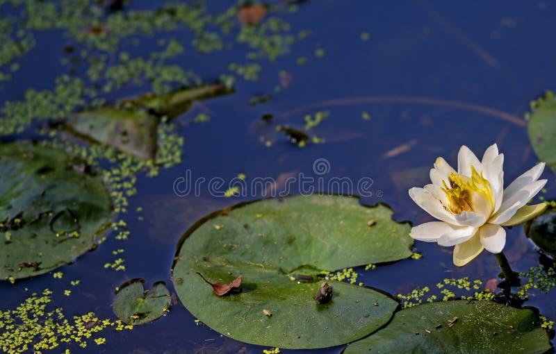 Lírio de água e lillypad imagens de stock