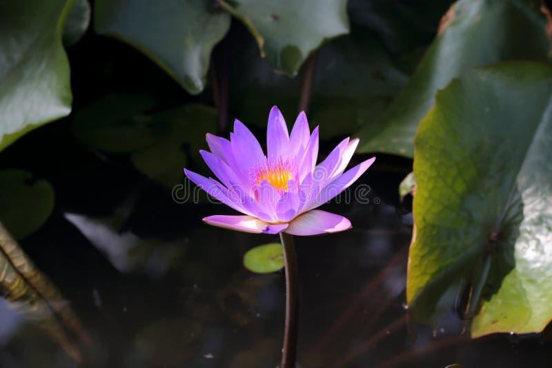 Lírio de água em Siem Reap imagem de stock royalty free