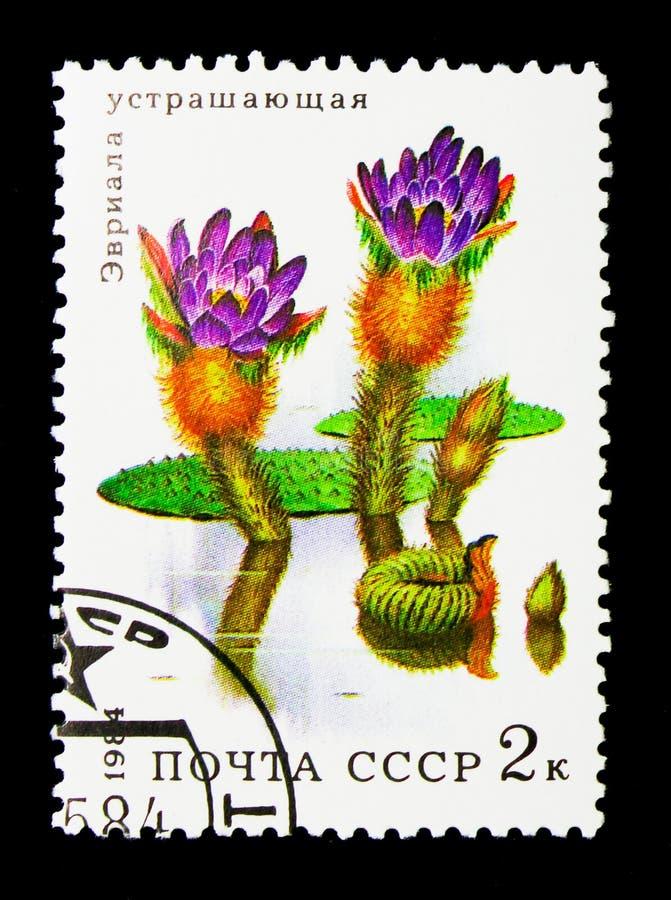 Lírio de água espinhoso (ferox) do Euryale, serie aquático das flores, cerca de fotos de stock royalty free