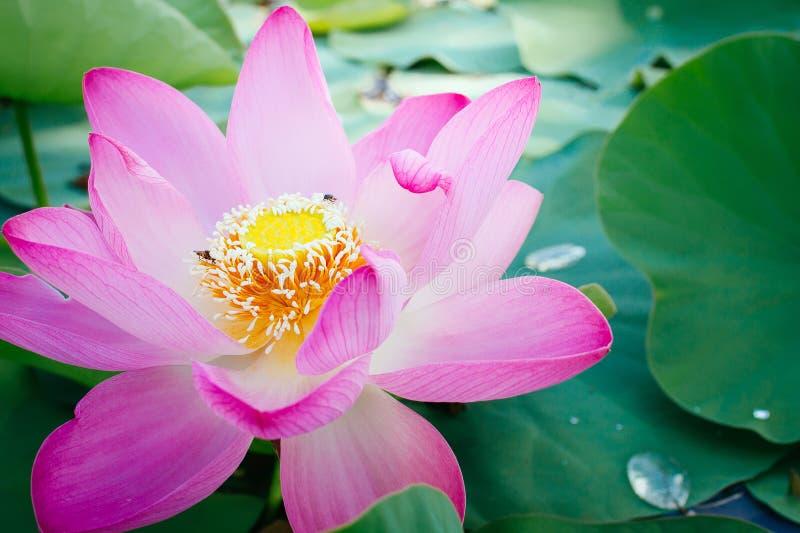 Lírio de água, Lotus imagens de stock royalty free