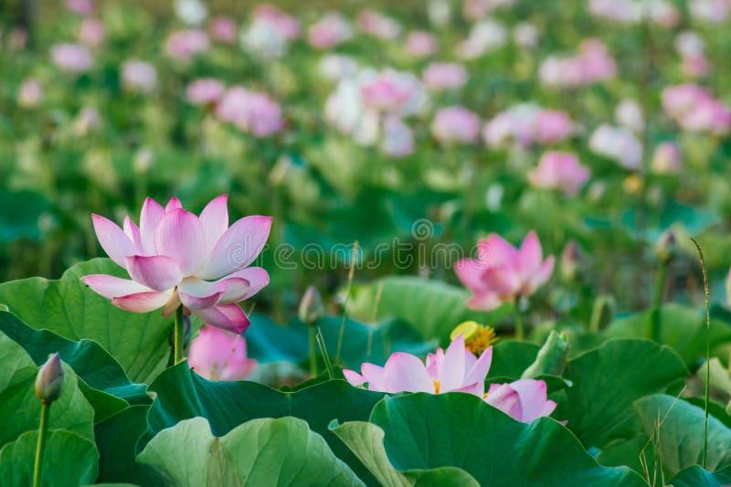 Lírio de água, Lotus fotos de stock