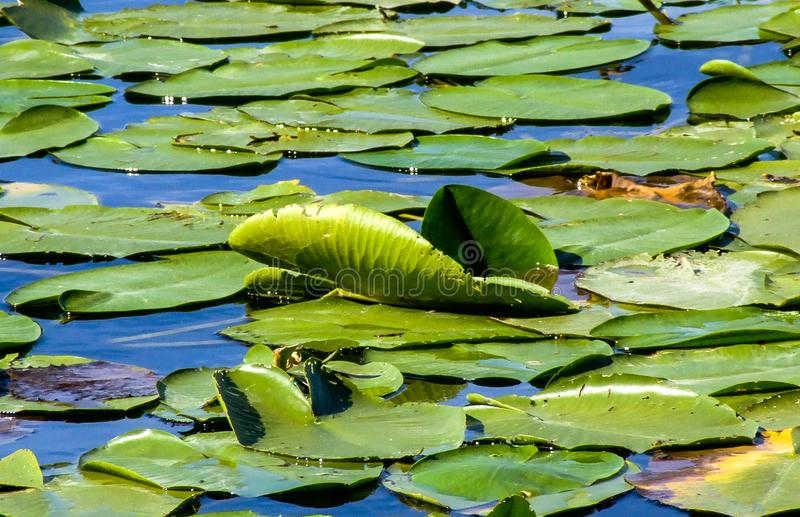 Lírio de água no lago Skadar fotografia de stock royalty free