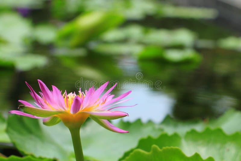 Lírio de água roxo com folhas verdes foto de stock