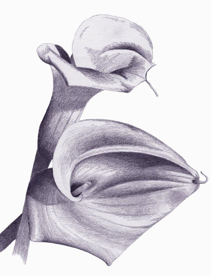 Lírio de Calla ilustração stock