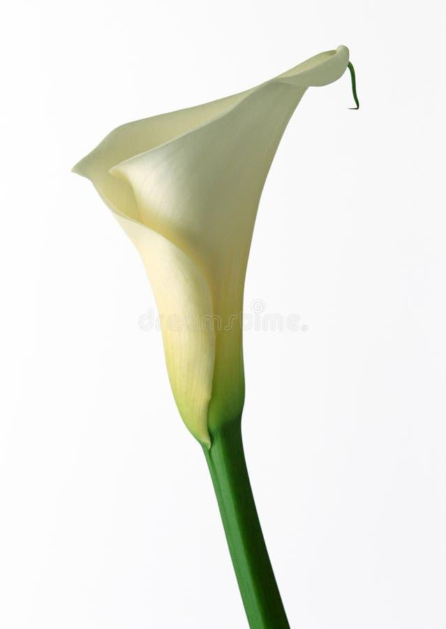 Lírio de Calla branco fotografia de stock royalty free