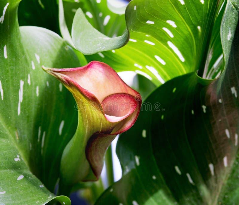 Lírio de Calla cor-de-rosa Unfurling foto de stock royalty free