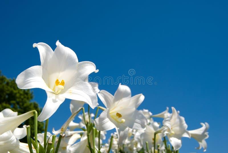 Lírio de Easter fotos de stock