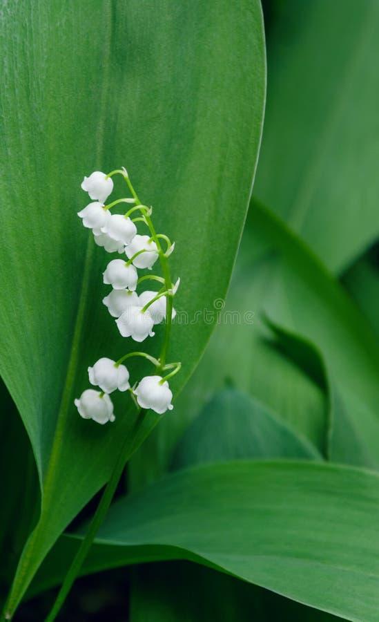 Lírio de flor branca do vale em um fundo das folhas verdes imagem de stock royalty free