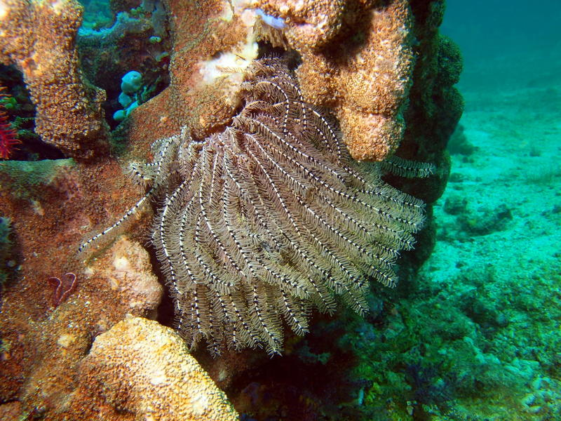 Lírio de mar do mar filipino fotografia de stock