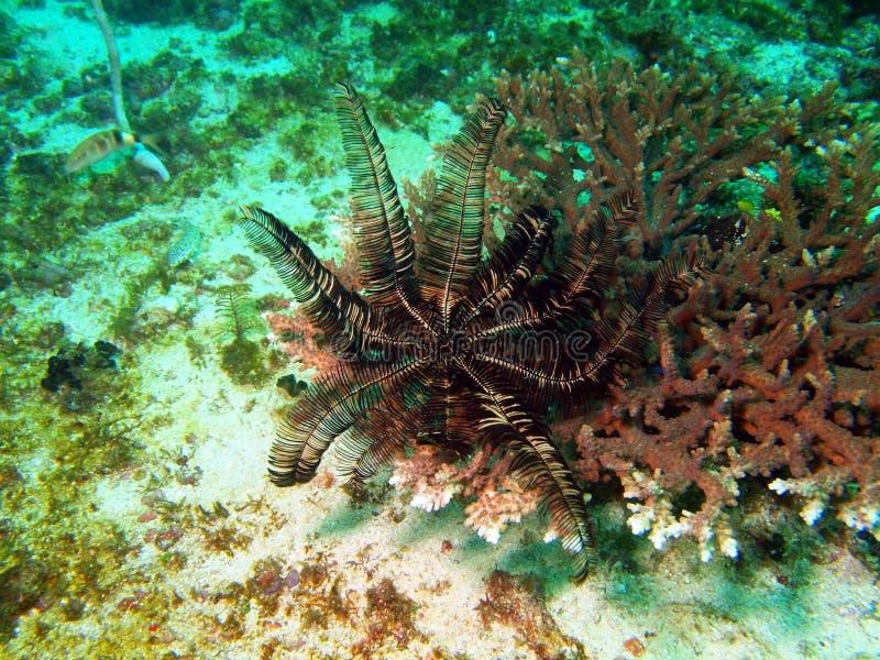 Lírio de mar do mar filipino fotos de stock royalty free