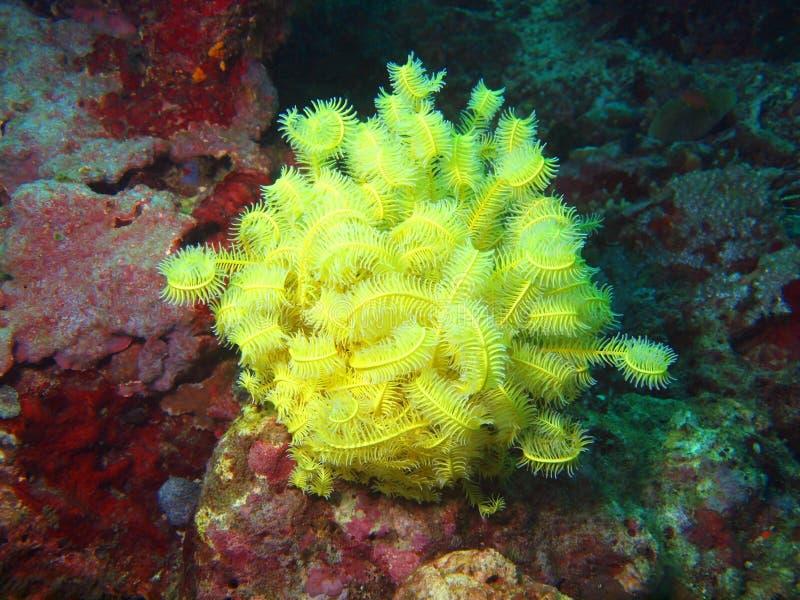Lírio de mar do mar filipino imagens de stock royalty free