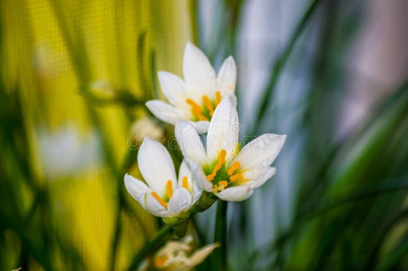 lírio decorativo Zephyranthes da chuva da flor branca grandiflora imagem de stock