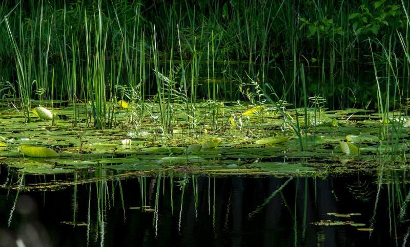 Lírio e juncos de água com reflexões fotos de stock royalty free