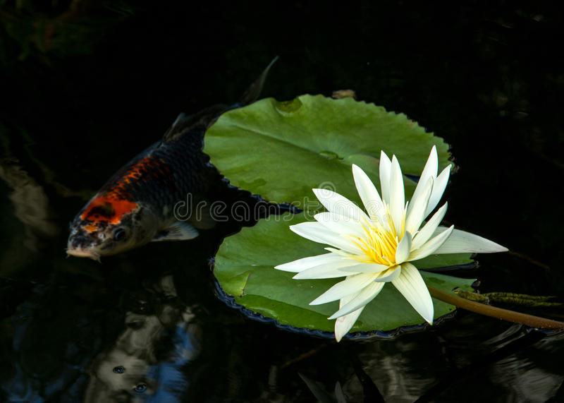 Lírio e Koi Fish imagem de stock royalty free