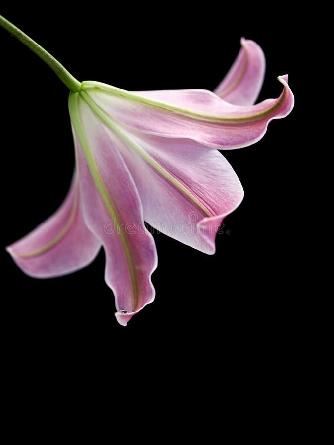 Download Lírio macio imagem de stock. Imagem de rosa, isolado - 10068329