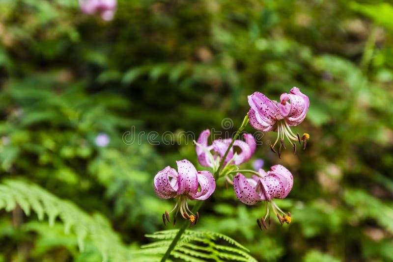 Lírio - martagon do Lilium (lírio do martagon, de tampão do turco lírio) imagem de stock