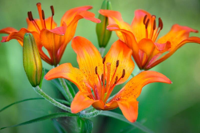 Lírio muito bonito da flor foto de stock