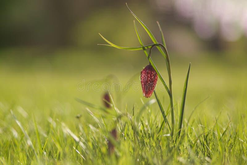 Lírio quadriculado na primavera fotografia de stock royalty free