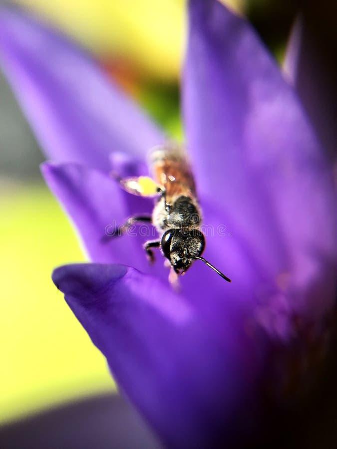 Lírio roxo dos lótus da abelha do inseto fotos de stock royalty free