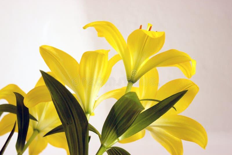 Lírios amarelos imagem de stock
