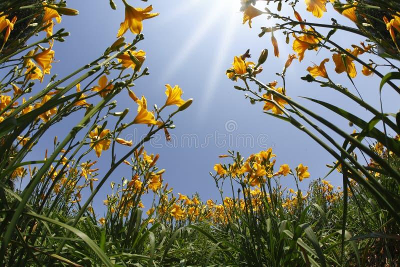 Lírios amarelos e alaranjados do jardim na mola imagens de stock