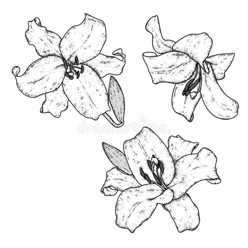 Lírios bonitos Ilustração do vetor Flores delicadas Cópia do vintage no cartão, no cartaz ou na roupa ilustração stock