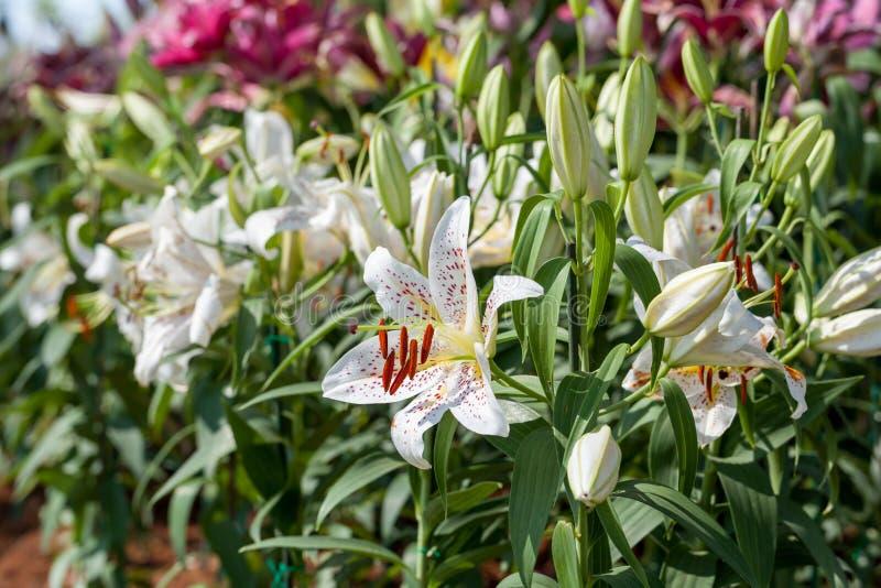 Lírios brancos bonitos no jardim imagens de stock royalty free