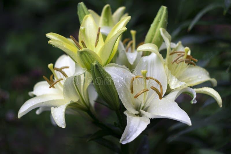 Lírios brancos com a gota que floresce no jardim, flores bonitas foto de stock