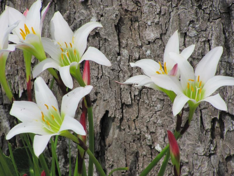 Lírios brancos da chuva Fundo da árvore fotografia de stock